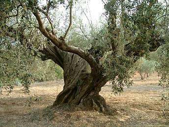 Viveros de olivo medina vivero de olivo plantones de olivo for Viveros en granada