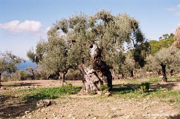 Viveros de olivo medina vivero de olivo plantones de olivo for Viveros de olivos